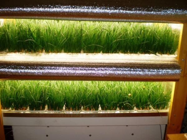 выращивание лука на перо на гидропонике