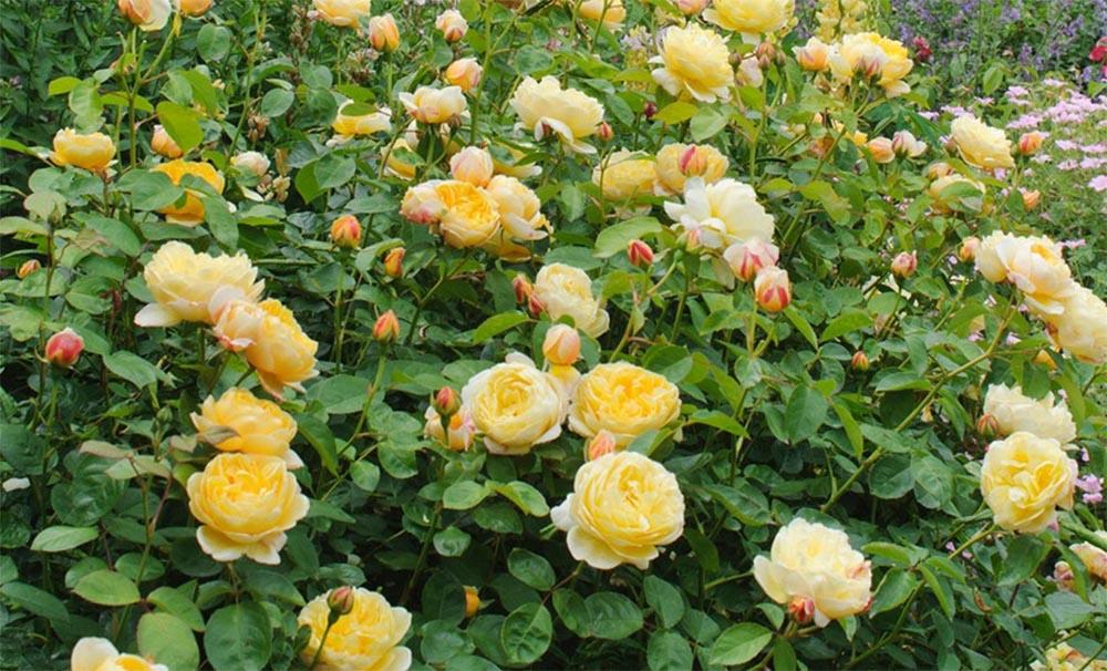 Роза Шарлотта в саду