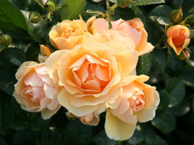 Роза уход