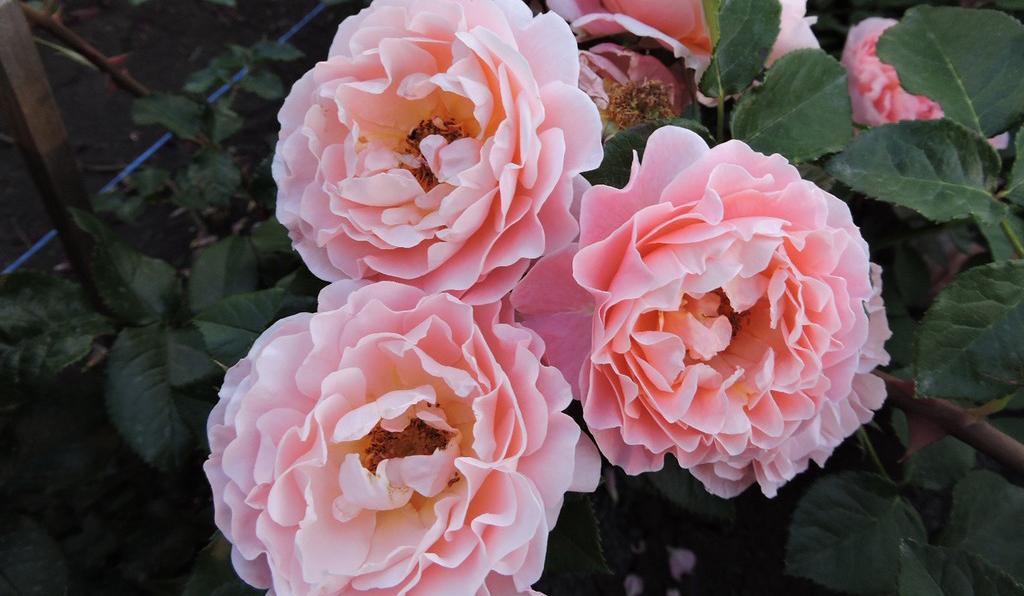 Розы сорта Мари Кюри