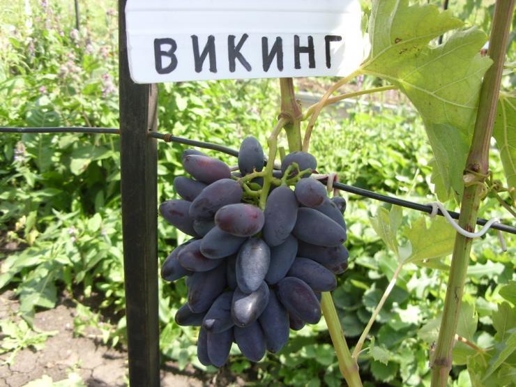 Крупный сорт винограда викинг