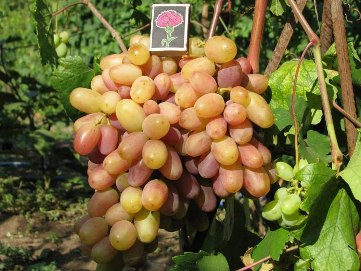 Ранний сорт винограда виктор