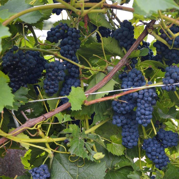 виноград лион