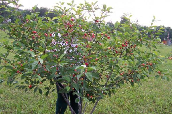 Сорт вишни Харитоновская