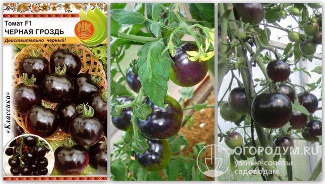 Упаковка семян гибрида «Черная гроздь» и фотографии помидоров этого сорта