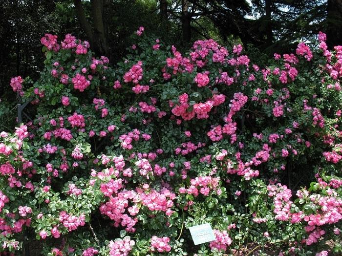 Цветы этого сорта отличаются восхитительной простотой: внешне напоминают шиповник, но благодаря окрасу и расположению соцветий привлекают много внимания.