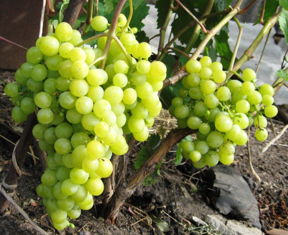 Кисти спелого винограда на ветках столового сорта Алешенькин