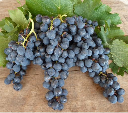 ягоды винограда выращивание