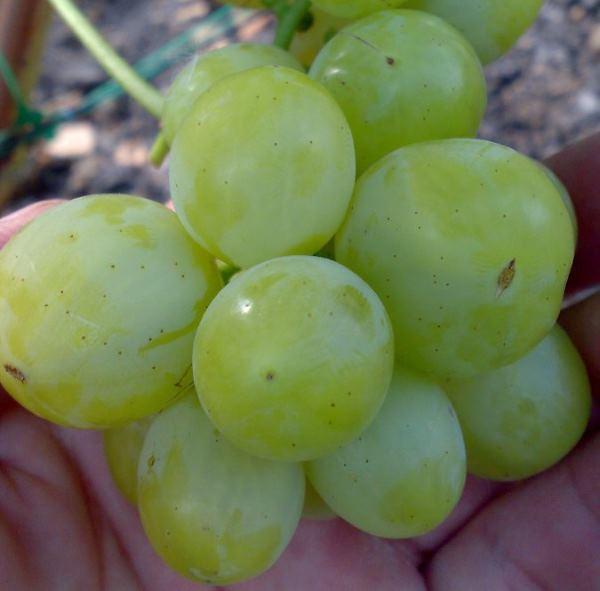 Ягода янтарно-зеленого цвета винограда сорта Алешенькин крупным планом