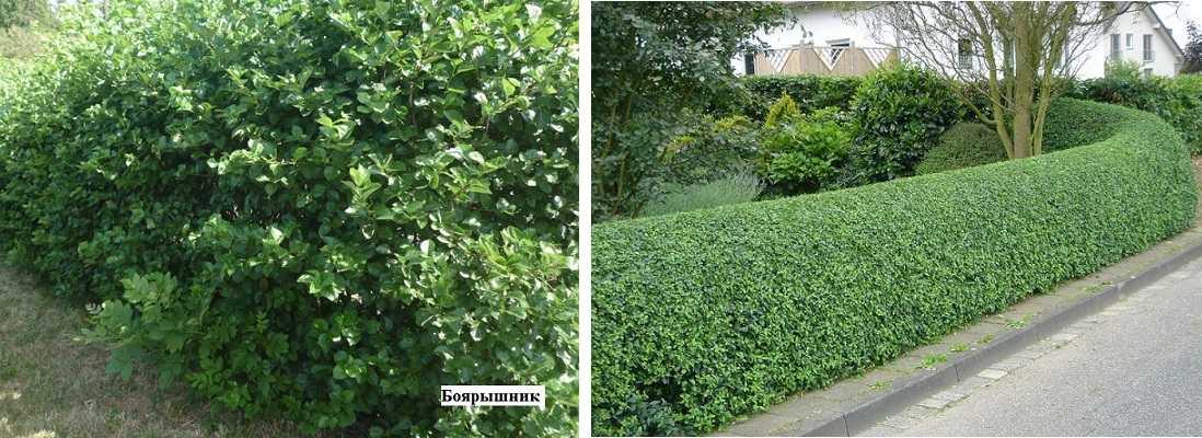 Изгородь из боярышника - свободно растущая и стриженая