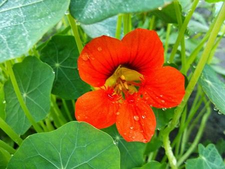 Настурция цветение