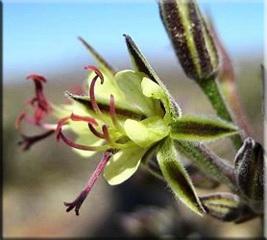 Герань пушистолистная (Pelargonium crithmifolium)