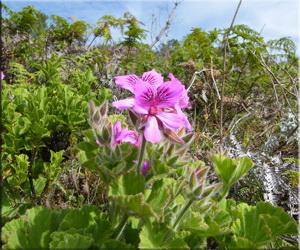 Герань клобучковая (Pelargonium cucullatum)