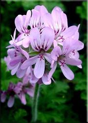 Герань головчатая (Pelargonium capitatum)