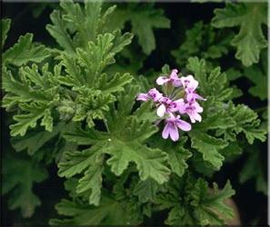 Герань ароматная (Pelargonium graveolens)