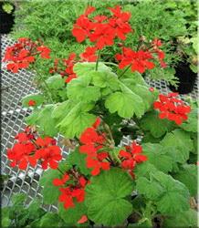 Герань пачкающая (Pelargonium inquinans)