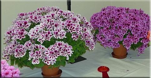 Герань крупноцветковая, или Королевская (Pelargonium grandiflorum)