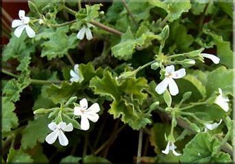 Герань душистая (Pelargonium odoratissimum)