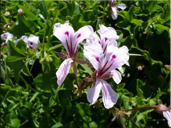 Герань щитковидная (Pelargonium peltatum)