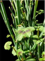 Герань четырехугольная (Pelargonium tetragonum)