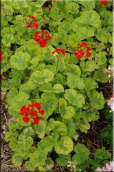 Герань зональная (Pelargonium zonale)