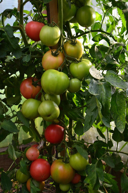 Кисти томата Малиновая мечта
