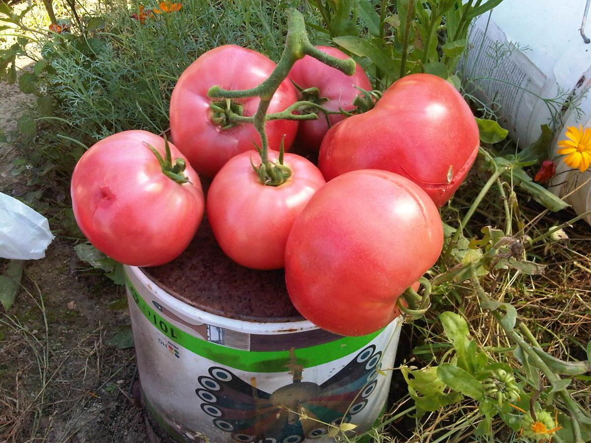 Малиновый закат томат