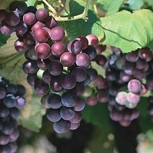Лучшие комплексоустойчивые сорта винограда
