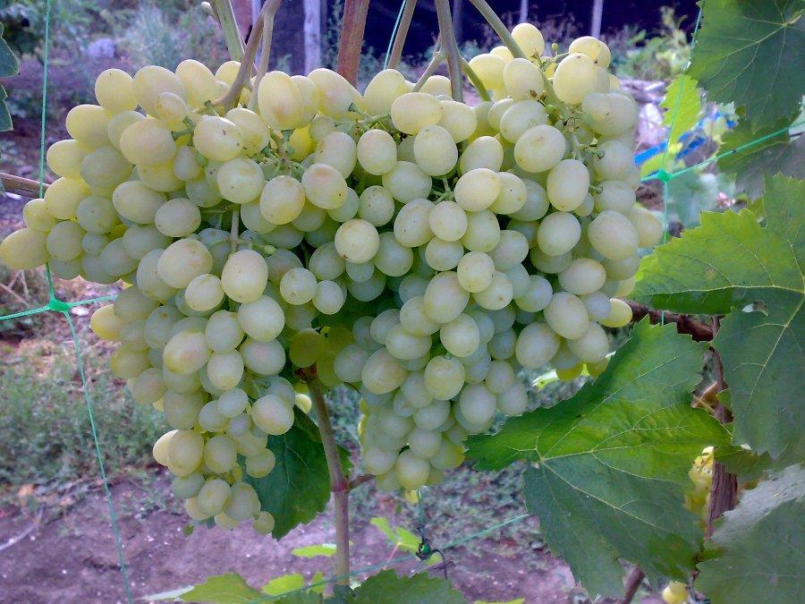 Крупные грозди столового винограда сорта Алешенькин с ягодами янтарного окраса