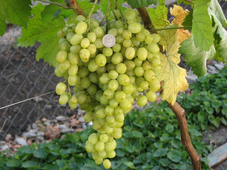 Объемная гроздь морозостойкого винограда Алешенькин и монетка